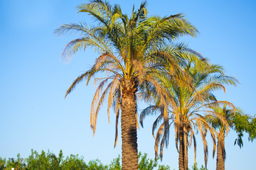 Summer . Three beautiful and large palm trees .