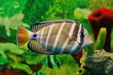Striped marine fish with grey and white vertical lines, yellow tail and blue point at base of tail. Sea saltwater aquarium. Shallow depth of field