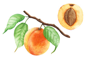 Apricot branch painted with watercolor