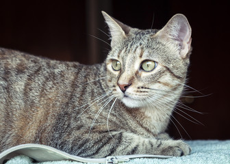 Beautiful grey tabby cat