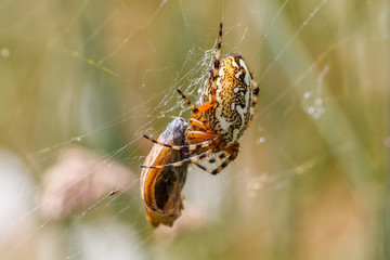 Aculepeira ceropegia. Araña de hoja de roble, Araña orbitela acuminada, con una presa.
