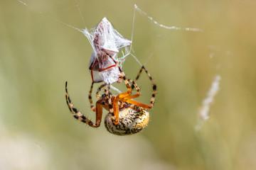 Aculepeira ceropegia. Araña de hoja de roble, Araña orbitela acuminada, cubriendo de telaraña una presa.