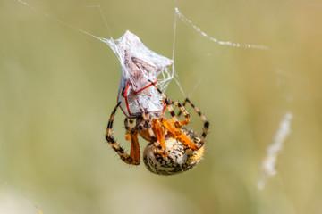 Aculepeira ceropegia. Araña de hoja de roble, Araña orbitela acuminada, inyectando veneno a una presa.