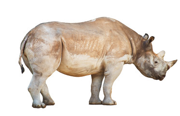 African Rhinoceros isolated on white background.