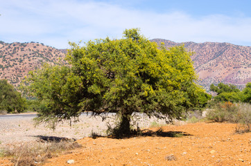Plantation of argan trees, Morocco