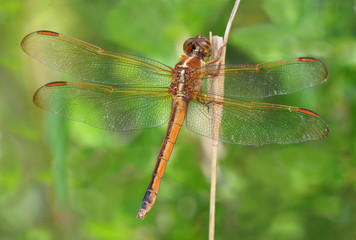 Extreme Depth of Field Photo of Golden Winged Skimmer Dragonfly