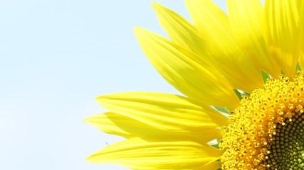 Большей цветок подсолнуха повернут к солнцу