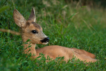 Rest young roe deer by the forest