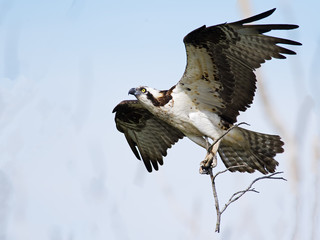 Osprey in Flight carrying Branches for Nest Fototapete
