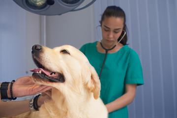 veterinarian or doctor checking up golden retriever dog at vet clinic