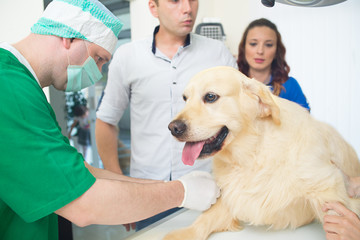 veterinarian or doctor checking up golden retriever dog at vet clinic
