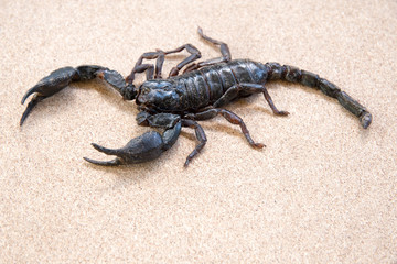Emperor Scorpion  on rusty background.