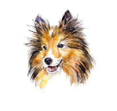 Sheltie. Portrait dog. Watercolor hand drawn vector illustration.