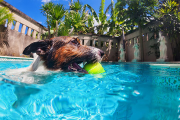 Playful jack russell terrier puppy in swimming pool has fun - dog jump, swim and dive underwater to retrieve ball. Training and active games with family pets and popular dog breeds on summer vacation
