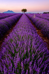 Tree in lavender field at sunset in Provence, France