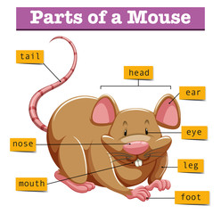 Diagram showing parts of mouse