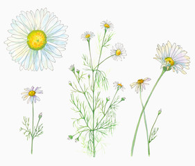 Set of Chamomile (Daisy) flowers and leaves, bouquet, watercolor painting, realistic illustration on white background