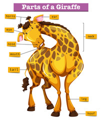 Diagram showing parts of giraffe