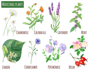 Collection of medicinal plants: chamomile (daisy), lavender, calendula, mint, briar, linden, cornflower, periwinkle; flowers and leaves, watercolor painting, realistic illustration