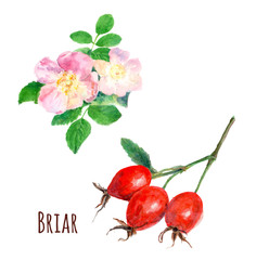 set of wild rose (briar): pink flowers and red fruit, watercolor painting, realistic illustration