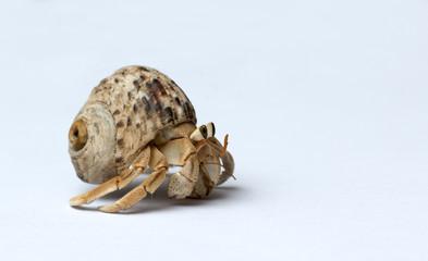 Hermit Crab on white background