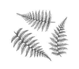 Black isolated fern branches, hand drawn leaves.