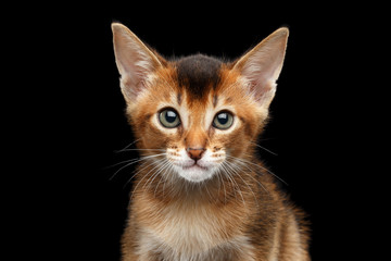 Closeup portrait of Cute Abyssinian Kitty Curious Looking in Camera on Isolated Black Background, Front view, stunning Male Cat