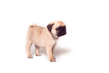 Puppy pug standing at the white background. Image isolated