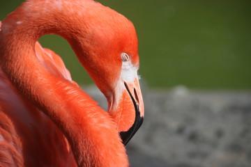 Czerwone flamingi