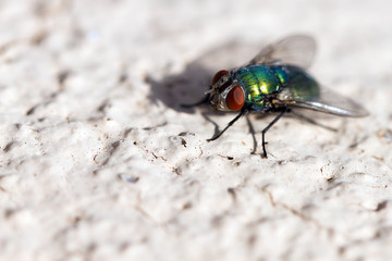 Green Bottle Fly on a stucco wall