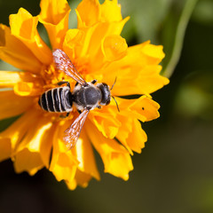 Plasterer Bee on native yellow Coreopsis flower, aka Tickseed, in Santa Fe, New Mexico