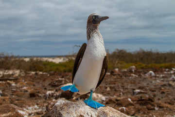 Dancing Blue Footed Boobie
