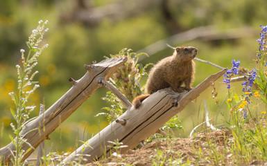 Wild Animal Marmot Marmota Yellowstone National Park
