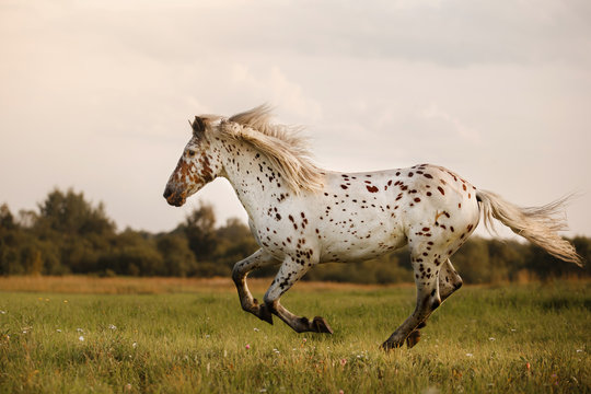 White spot in the horse