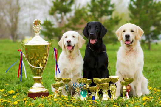 three beautiful purebred dogs Labrador Retriever and two Golden