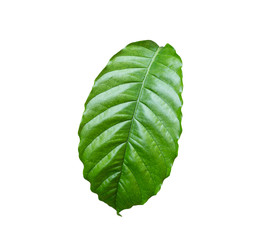 Fresh green coffee tree leaf isolated on white. Saved with clipp