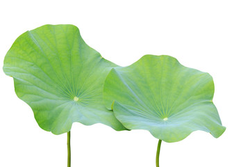 Big green lotus leaf isolated on white. Saved with clipping path
