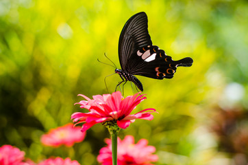 Black butterfly on flower, Thailand.