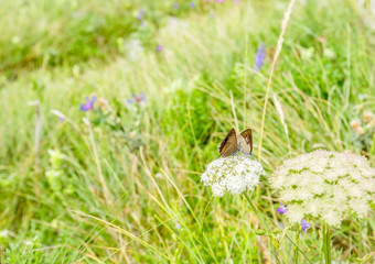 Two butterflies mate on white flowers on blurred grass field background