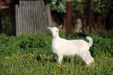 goatling on a meadow