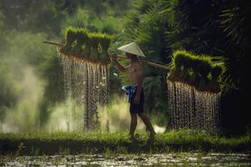Farmers carrying seedlings in rice farm Fototapete