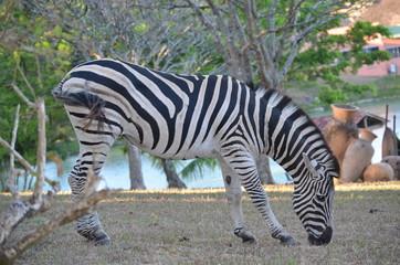 Deu Zebra
