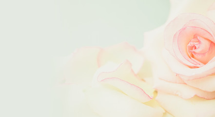sweet pink roses in soft color and blur style