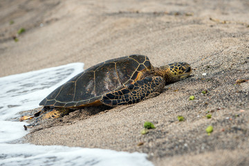 Green Turtle at big island on the shore in Hawaii