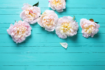Tender pink peonies flowers on  turquoise  wooden background.