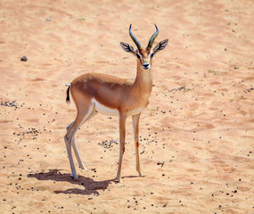Arabian Gazelle