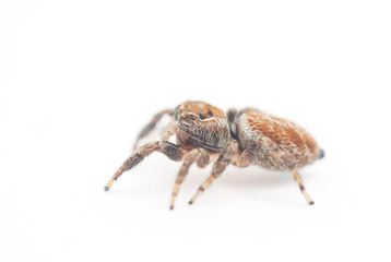 jumping spider on a white background