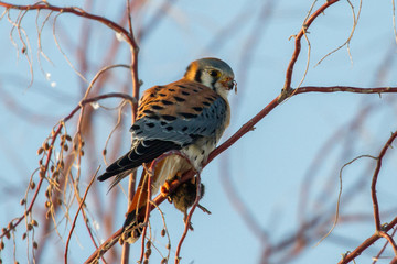 American Kestrel with mouse sitting in tree