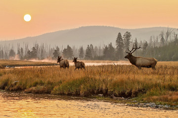 Elk in the wild