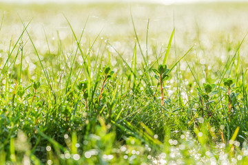Natural bokeh background from green grass with dew drop on morning time